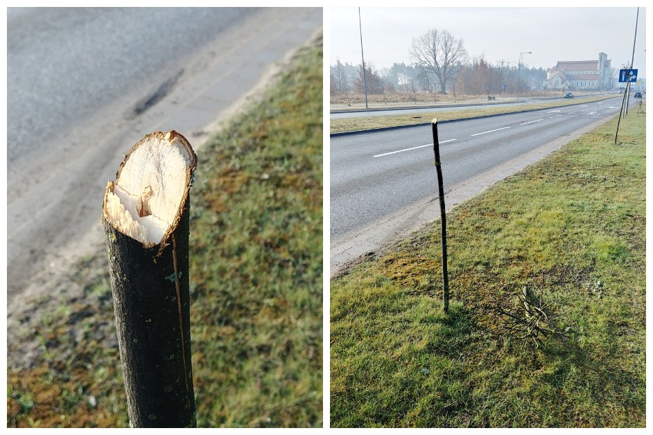 Ostrołęka: Zniszczone drzewka przy Bohaterów Warszawy